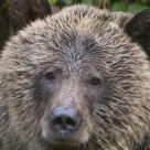 Eyes of the Bear
